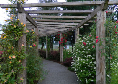 The trellis in Mary's Rose Garden with blooming roses beginning to cover the trellis.